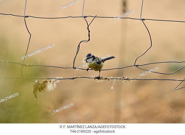 Tit Parus caeruleus. Guadarrama Regional Park, Madrid Province, Spain