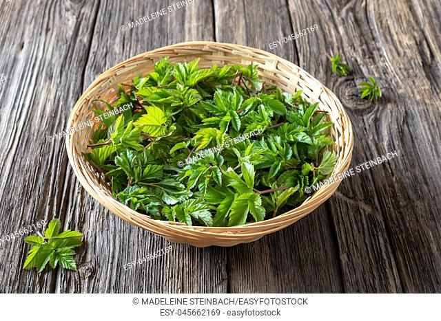 Fresh young ground elder leaves in a basket