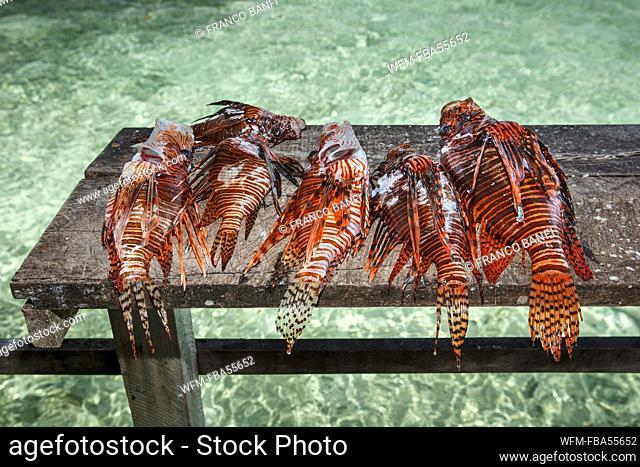 Invasive Lionfish caught to feed crocodiles, Pterois volitans, Banco Chinchorro, Caribbean Sea, Mexico