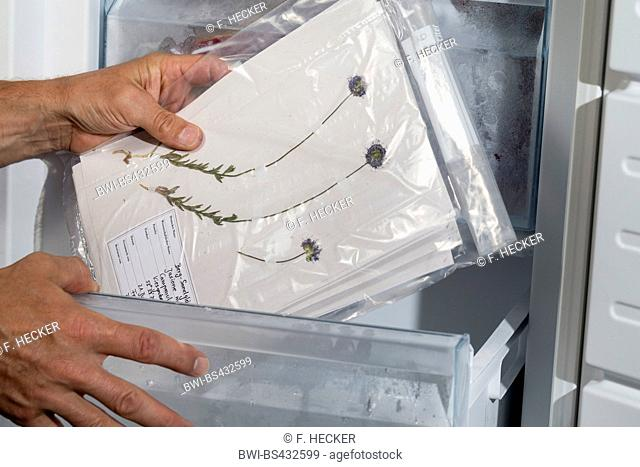 sheep's-bit, sheep's scabious (Jasione montana), herbarium is put in to a refrigerator to avoid infections vermins, Germany