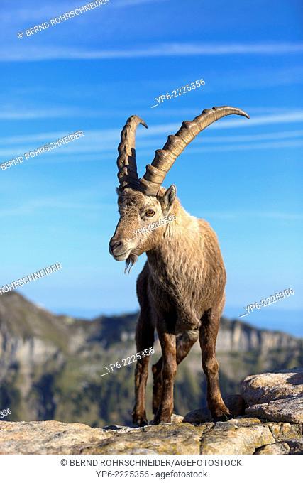 male Alpine Ibex (Capra ibex) standing on rock, Niederhorn, Switzerland