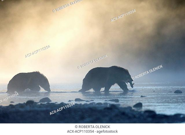 Grizzly bear (Ursus arctos horribilis), female with sockeye salmon (Oncorhynchus nerka) and cub, in morning mist, Chilcotin Region, British Columbia, Canada