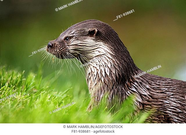 European otter (Lutra lutra) close-up portrait on riverbank, UK (May 2009, taken in controlled conditions)