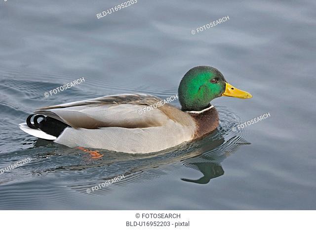 stefan, bird, platyrhynchos, huwiler, duck, anas