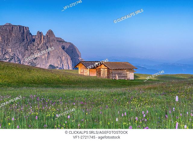 Alpe di Siusi/Seiser Alm, Dolomites, South Tyrol, Italy. Bloom on Plateau of Bullaccia/Puflatsch. In the background the peaks of Sciliar/Schlern