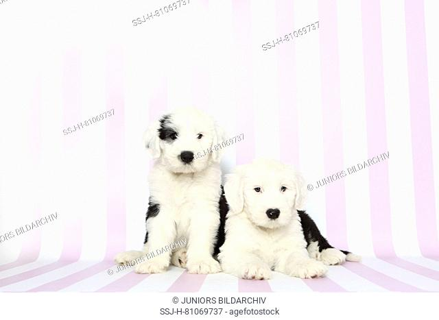 Old English Sheepdog. Two puppies, one sitting, the other lying. Studio picture against a pink-and-white striped background. Germany