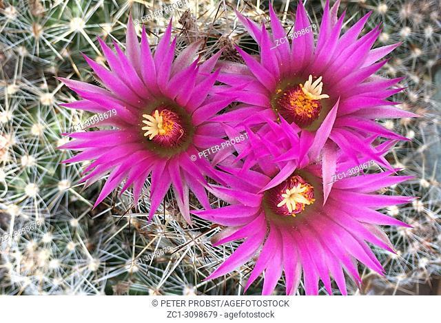 Cactus with flowers - Escobaria vivipara