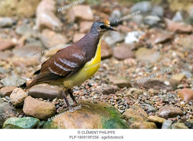 Cinnamon ground dove / golden-heart dove / red-throated ground dove / golden-heart pigeon (Gallicolumba rufigula) native to New Guinea