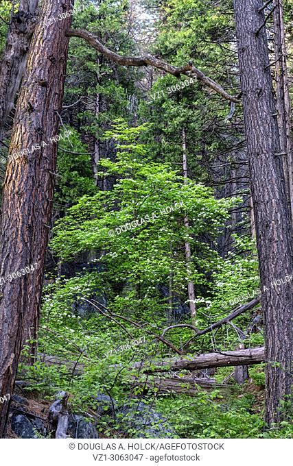 Dogwood in Yosemite NP Forest, USA