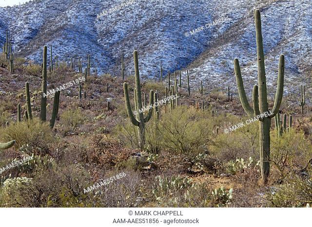 Saguaro Cacti After Winter Snow (Carnegiea Gigantea), Saguaro National Park, Arizona, Usa
