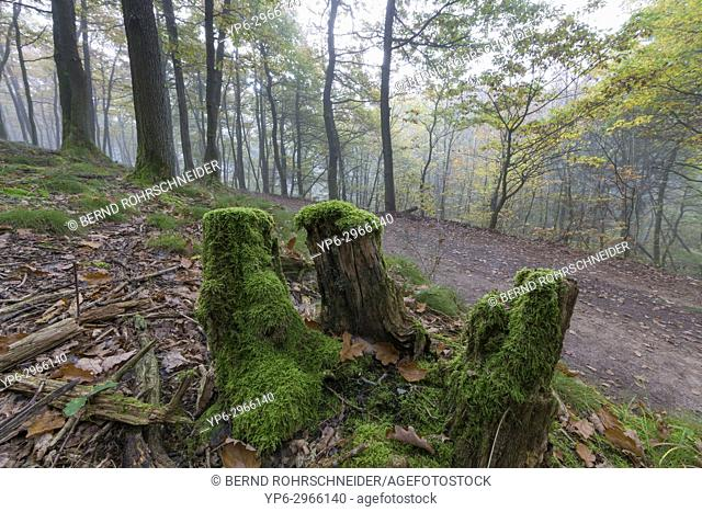 forest with moss-covered trunk, Mattheiser forest, Trier, Rhineland-Palatinate, Germany