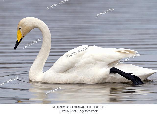 Whooper Swan - Cygnus cygnus - France