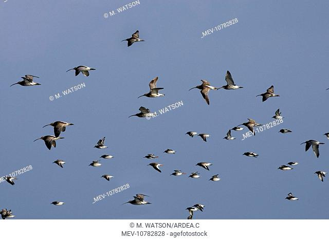 Various Waders: mainly Dunlin and Curlew - in flight (Calidris alpina)