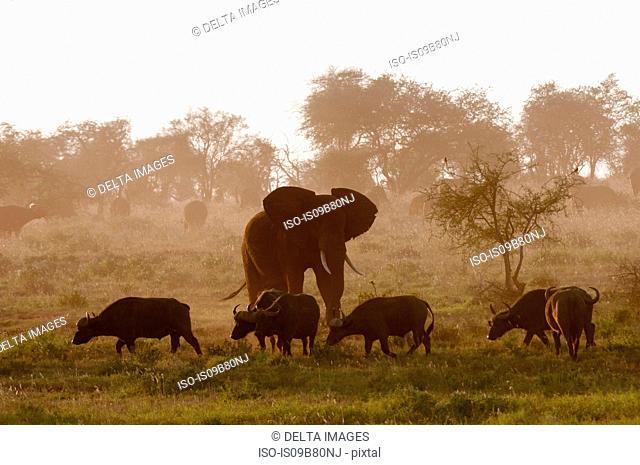Elephant (Loxodonta africana) and African buffalos (Syncerus caffer), Lualenyi Game Reserve, Tsavo, Kenya