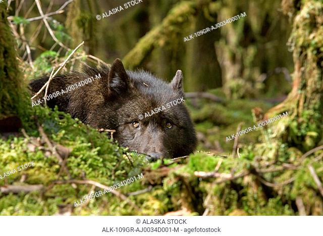 Wolf rests in a mossy bed on the forests floor of the Tongass National Forest in Southeast Alaska