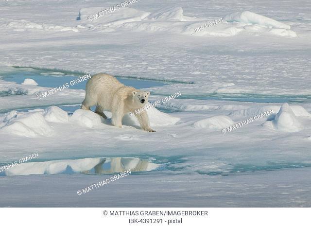Polar bear (Ursus maritimus) walking on ice, Spitsbergen, Norway