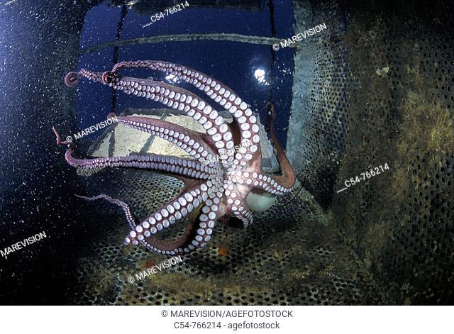 Eastern Atlantic Galicia Spain Sea farm of Octopus Octopus vulgaris