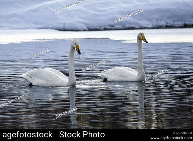 Two Whooper swans, Cygnus cygnus swimming and one having seagrass haning from the beak, Gällivare, Swedish Lapland, Sweden
