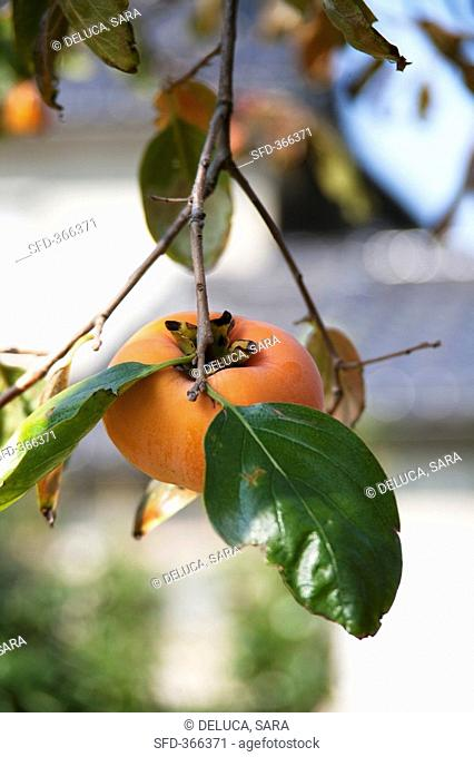 Persimmon on the branch