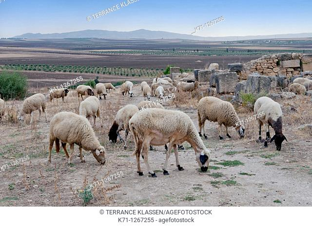 Sheep grazing in a pasture near the Roman ruins of Volubilis, Morocco