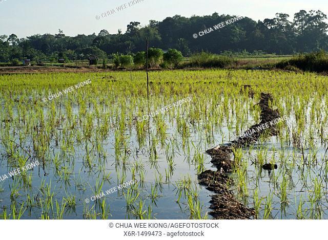Padi Field of Kampong Skudup, Kuching ,Sarawak, Malaysia