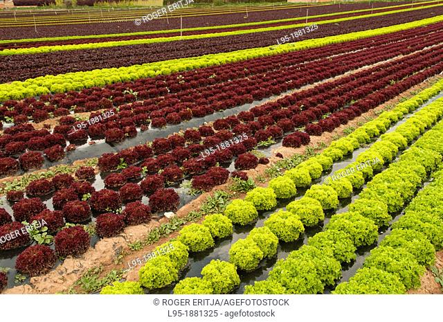 Agricultural field cropping different types of lettuces, Spain