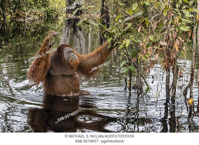 Wild male Bornean orangutan, Pongo pygmaeus, on the Buluh Kecil River, Borneo, Indonesia