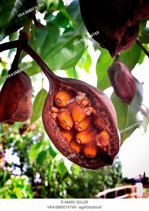 Fruits and seeds of Kurrajong (Brachychiton populneus)