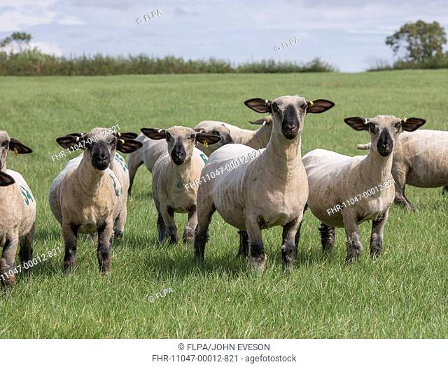 Domestic Sheep, Hampshire Down shearling ewes, flock standing in pasture, Lincolnshire, England, August