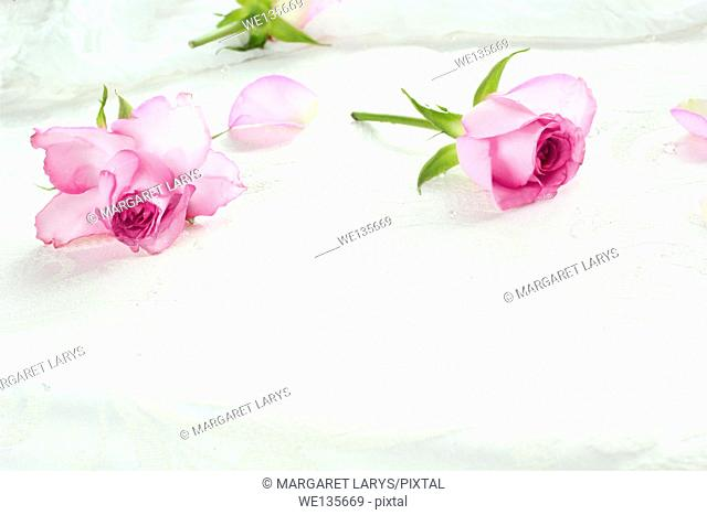 Pink roses pretty background