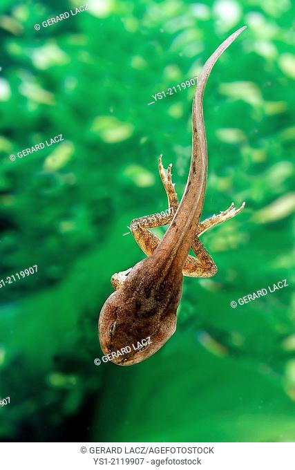 Edible Frog or Green Frog, rana esculenta, Tadpole standing in Pond, Normandy