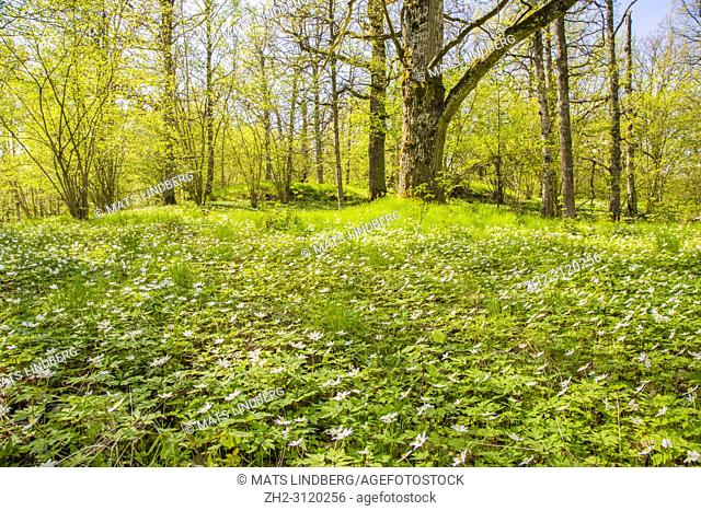 Wood anemone in oak forest at spring time, Södermanland, Sweden