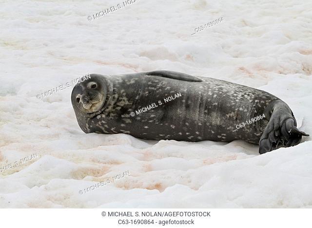 Weddell Seal Leptonychotes weddellii hauled out on ice at Half Moon Island, Antarctica, Southern Ocean