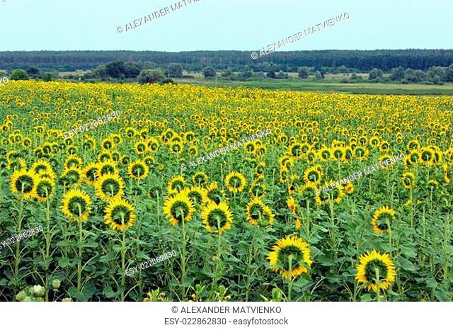 field of sunflowers near the forest