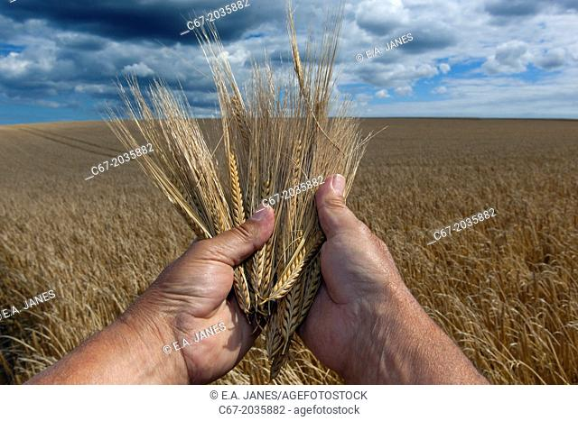Barley crop ready for harvesting at Salthouse Norfolk