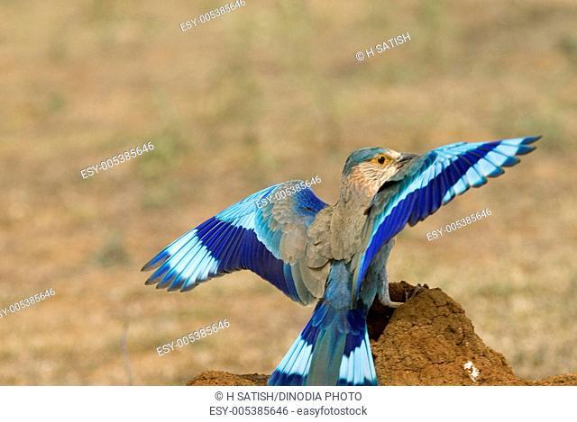 Birds ; Indian Roller coracias benghalensis landing ; Hasarghatta ; Bangalore ; Karnataka ; India