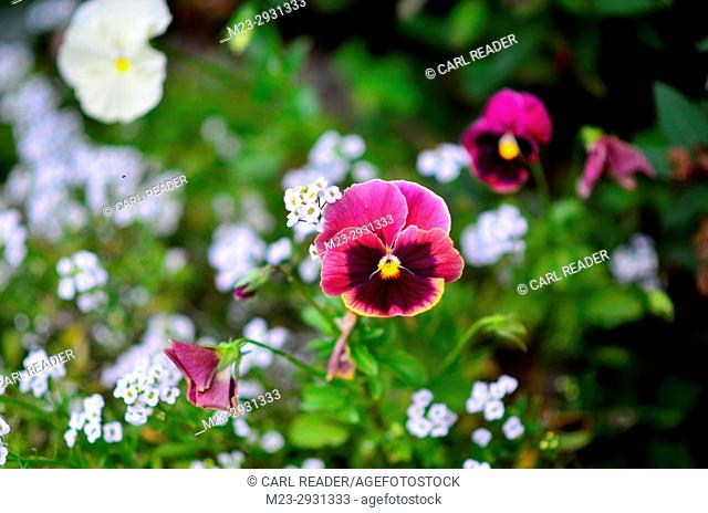 A petunia in soft-focus with a white background of flowers, Pennsylvania, USA