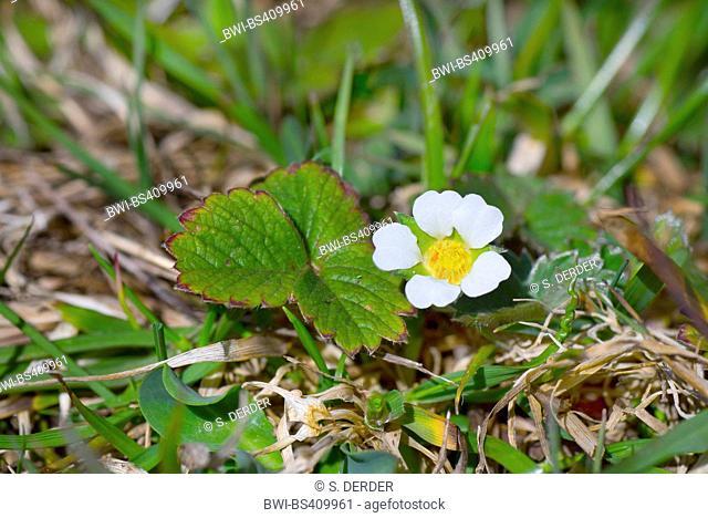 barren strawberry (Potentilla sterilis), blooming, Germany, Bavaria, Oberbayern, Upper Bavaria