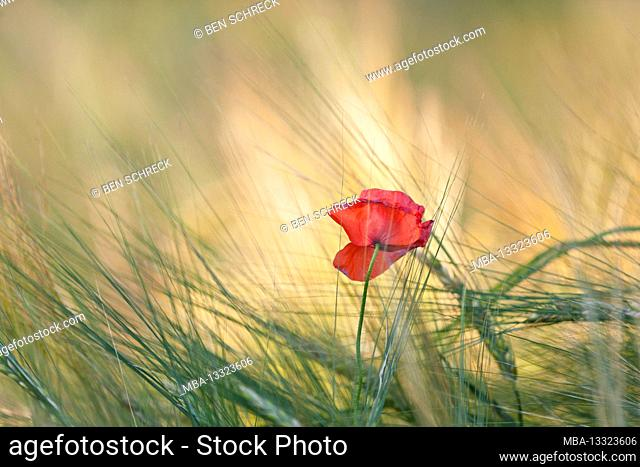 Poppy in the grain field in the evening sun, Calvados, Normandy