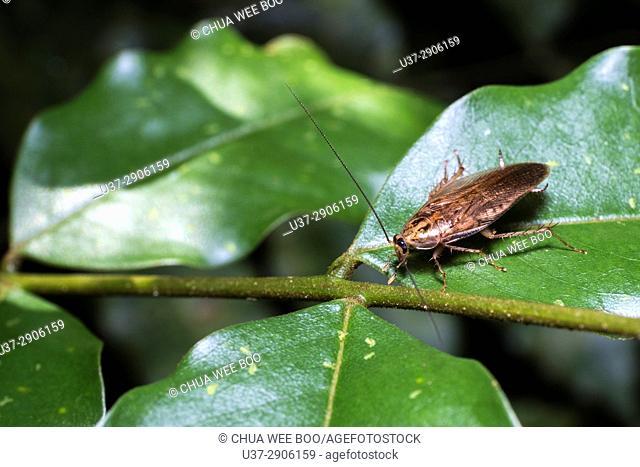 Cockroach. Image taken at Kampung Skudup, Kuching, Sarawak, Malaysia