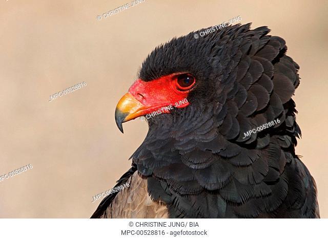 Bateleur Eagle (Terathopius ecaudatus), Kgalagadi Transfrontier Park, Northern Cape, South Africa