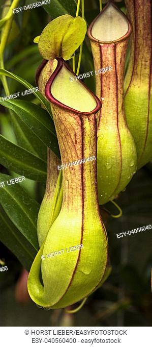 Pitcher plant (Nepenthes veitchii x stenophylla), a natural hybrid. Botanical Garden, KIT Karlsruhe, Germany, Europe