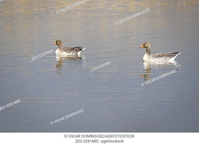 Greylag Goose (Anser anser) adults on water. Natural Areas of the Llobregat Delta. Barcelona province. Catalonia. Spain