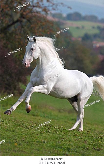 lusitano horse - running on meadow