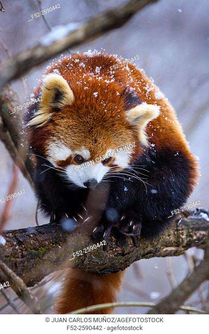 Red panda (Ailurus fulgens), also called lesser panda, red bear-cat, and red cat-bear. Wolong National Nature Reserve, China