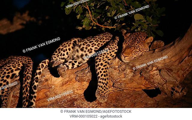 African Leopard Panthera Pardus Parudus resting in a Tree. Mashatu, Botswana
