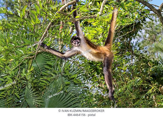Geoffroy's spider monkey or black-handed spider monkey (Ateles geoffroyi) sunbathing, rainforest, Belize