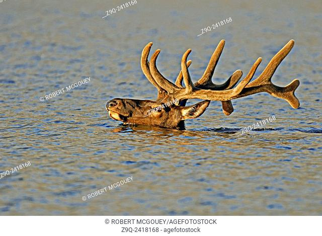 "A side view portrait of a large bull Elk """"Cervus elaphus"""", swimming across a lake with only his head above the surface of the water in Jasper National Park"