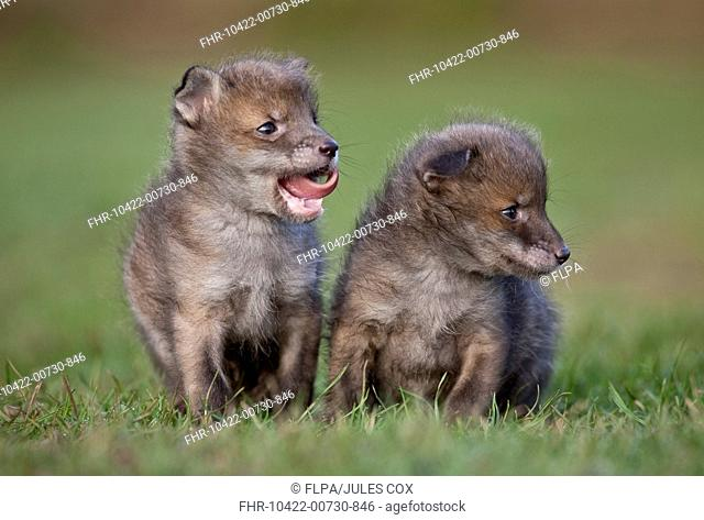 European Red Fox Vulpes vulpes two four-weeks old cubs, standing on grass, at wildlife rescue centre, Kent, England, april