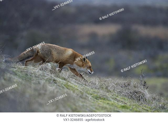 Red Fox / Rotfuchs ( Vulpes vulpes ) hunting at dawn in wide open grassland, walking down a little hill, wildlife, Europe